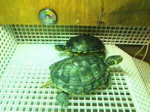 Yellow Bellied Male Sliders