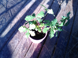English oak saplings 10$ a piece while they last