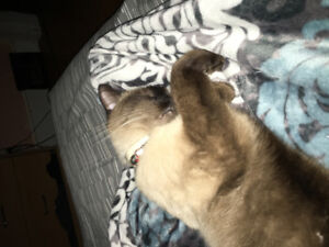 Missing Male Chocolate Seal Point Siamese