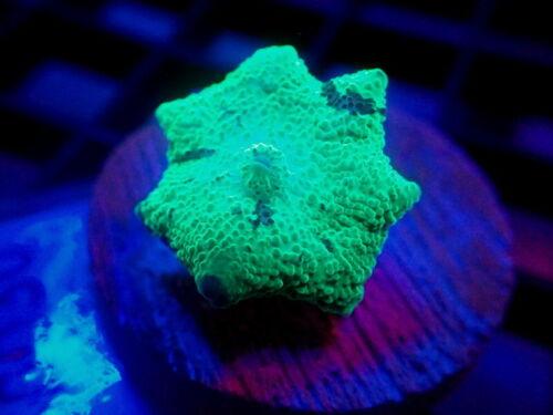 Kryptonite Jawbreaker Mushroom Coral Frag