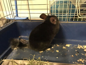 Chinilla(including cage,food, and hey) need a new home