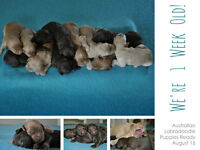 Australian Labradoodle Puppies Available August 15