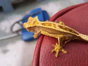 HIGHEND QUAD PIN BABY CRESTED GECKO