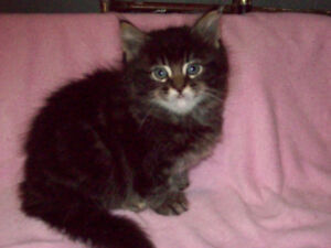 BIG AND BEAUTIFUL FEMALE  MAINE COON CROSS KITTENS