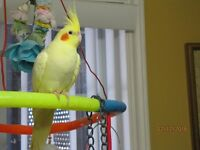 ♥☆♥☆HAND-FED/HAND-RAISED COCKATIELS/NEW BABIES HATCHING♥☆♥☆