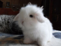 Looking for a Lionlop Rabbit Breeder