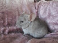 SELLING BABY CHINCHILLAS VERY CHEAP PRICE !!!