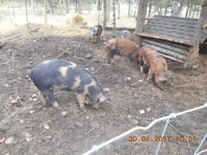 butcher pigs or breeding
