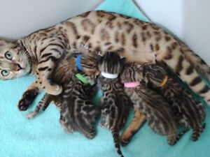 2 brown spotted bengal males kittens. TICA registered
