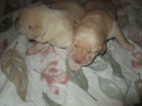 Yellow Labrador Retriever Pups