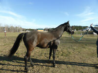 CHEVAL    CANADIEN/THOROUGHBRED
