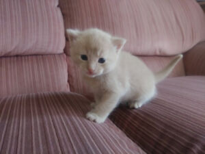 Chatons Abyssin Mix