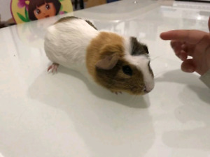 Free Male Guinea Pig to Give to a Good Home