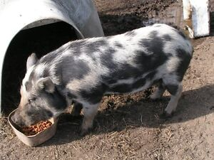 Spotted Boar