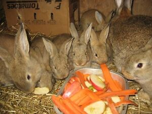 Pure breed Giant Flemish bunnies