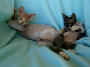 Devon Rex Pedigree Kittens For Sales Canungra Ipswich South Preview