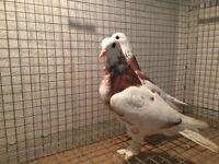 Pair of pigeons for sale