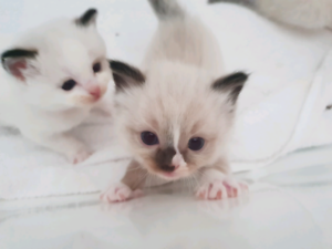 Pedigreed registered ragdoll kittens