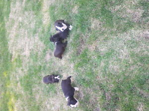 Boston Terrier Pups (2 boys left)