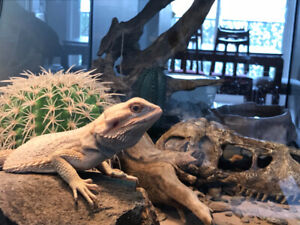 Bearded Dragon - 5 months old - female - looking for a new house