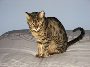 Female Bengal Cat for sale
