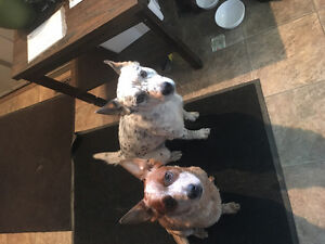 Red and blue heeler puppy's (Austrailan cattle dog) SOLD