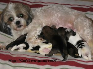 Shih tzu Yorkiepoo Puppies Looking for Loving, Forever Home