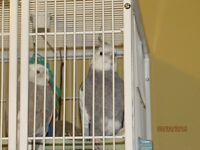 Looking For A Male & Female White-Faced Cockatiel Pair