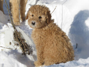 F1b Goldendoodle Puppies Curly non shedding