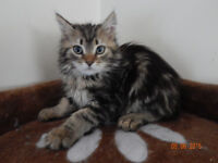 Siberian Forest Cat  Kittens - only 2 remaining