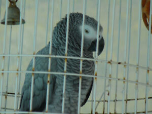 Talking African Grey Congo Parrot
