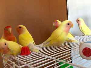 Lutino Lovebirds for sale