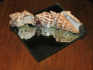 ....Mirrored Cluster of SEA SHELLS....