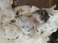 2 Baby Dwarf Hamsters
