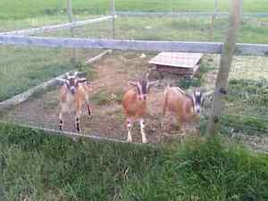 3 Goats, one mom and 2 neutered males.