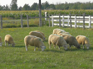 Sheep And Lambs For Sale | Kijiji in Ontario  - Buy, Sell