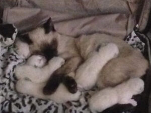 Siamese seal point kittens need forever homes asking 550$