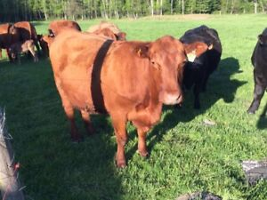 2 beef cows and calfs at side and more  cows