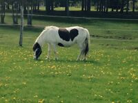 Beautifull Registered pinto pony mare for sale