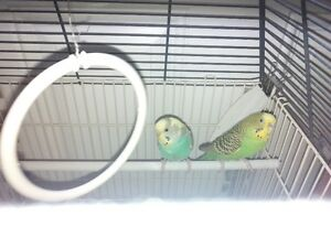 Two budgies.
