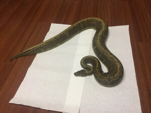Adult Female Pinstripe Ball python.