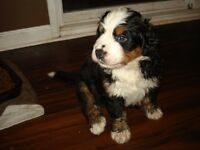 Bernese Mountain Dog Pups available