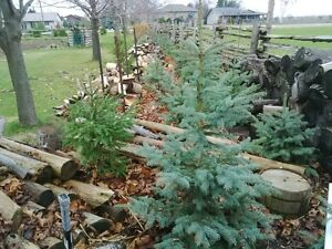 Blue spruce trees available