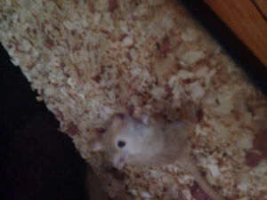 Free gerbils need to go asap drop off or pick up