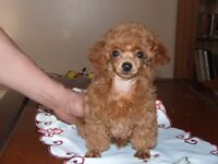 CKC REISTERED RED MALE TINY TOY POODLE
