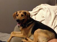 Looking For A Home - shep/beagle mix