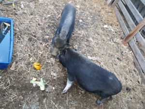 2 potbelly pigs