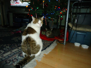 White Brown Tabby Male Found Windsor Region Ontario image 1