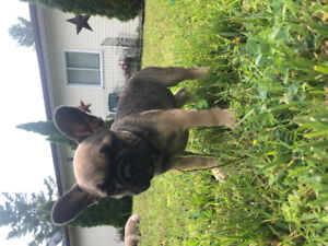 French Bulldog Puppies | Kijiji in Ontario  - Buy, Sell & Save with