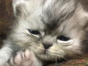 Purebred Teddy Bear Smoke Persian Kitten
